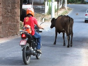 Motociclista é surpreendido por vaca em rua de Divinópolis (Foto: TV Integração/Reprodução)