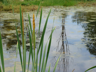 Cattails at the pond
