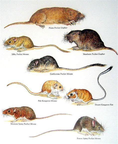 Gophers Mice Plains Pocket Gopher Silky Pocket Mouse