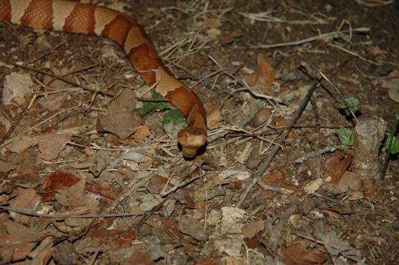 Copper Head Snake Venom