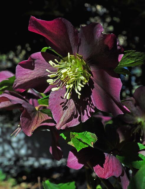 Helleborus (seedlings) (1)