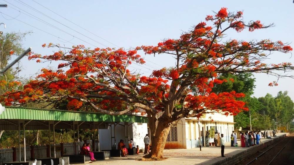 A Gulmohar Tree in Full Bloom on a Railway Platform!