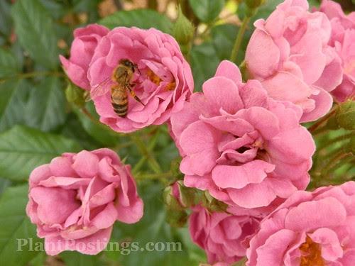 rosebee