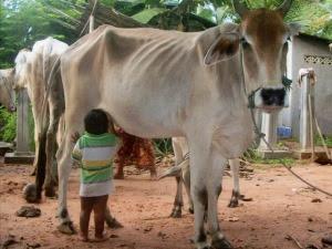 Menyusu sapi