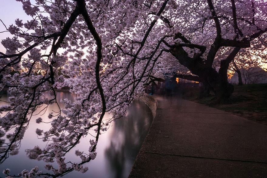primavera-flores-cerezo-sakura-japon-national-geographic (12)