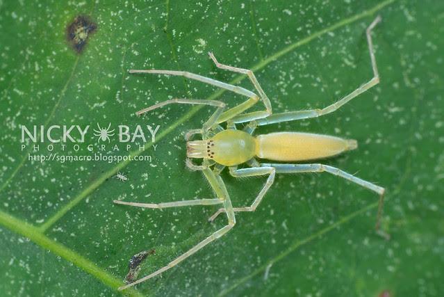 Sac Spider (Clubionidae) - DSC_1333