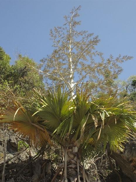 A palmeira tahina (Tahina spectabilis) um das espécies de vegetais de Madagascar que alcançaram o último estágio de ameaça antes do total desaparecimento (Foto: Divulgação/J. Dransfield/RBG Kew/IUCN)
