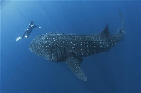 Φαλαινοκαρχαρίας παραλίγο να καταπιεί δύτη (2)