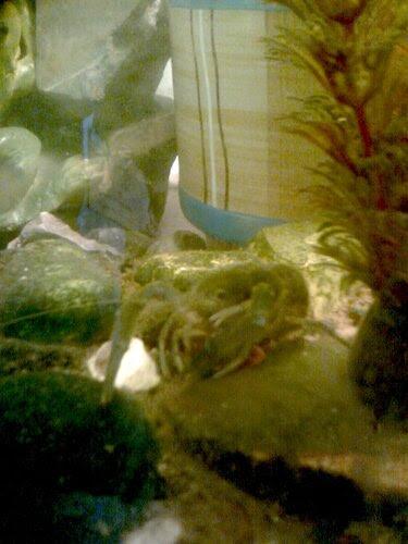 Рак в аквариуме