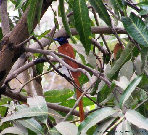 Gir Birding lodge - Paradise fly catcher