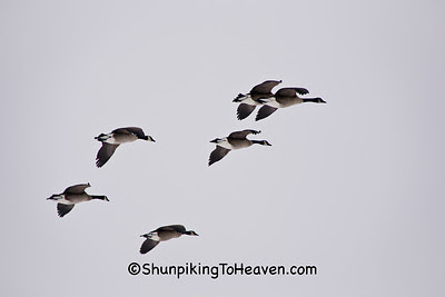 Canada Geese Flying, Waukesha County, Wisconsin