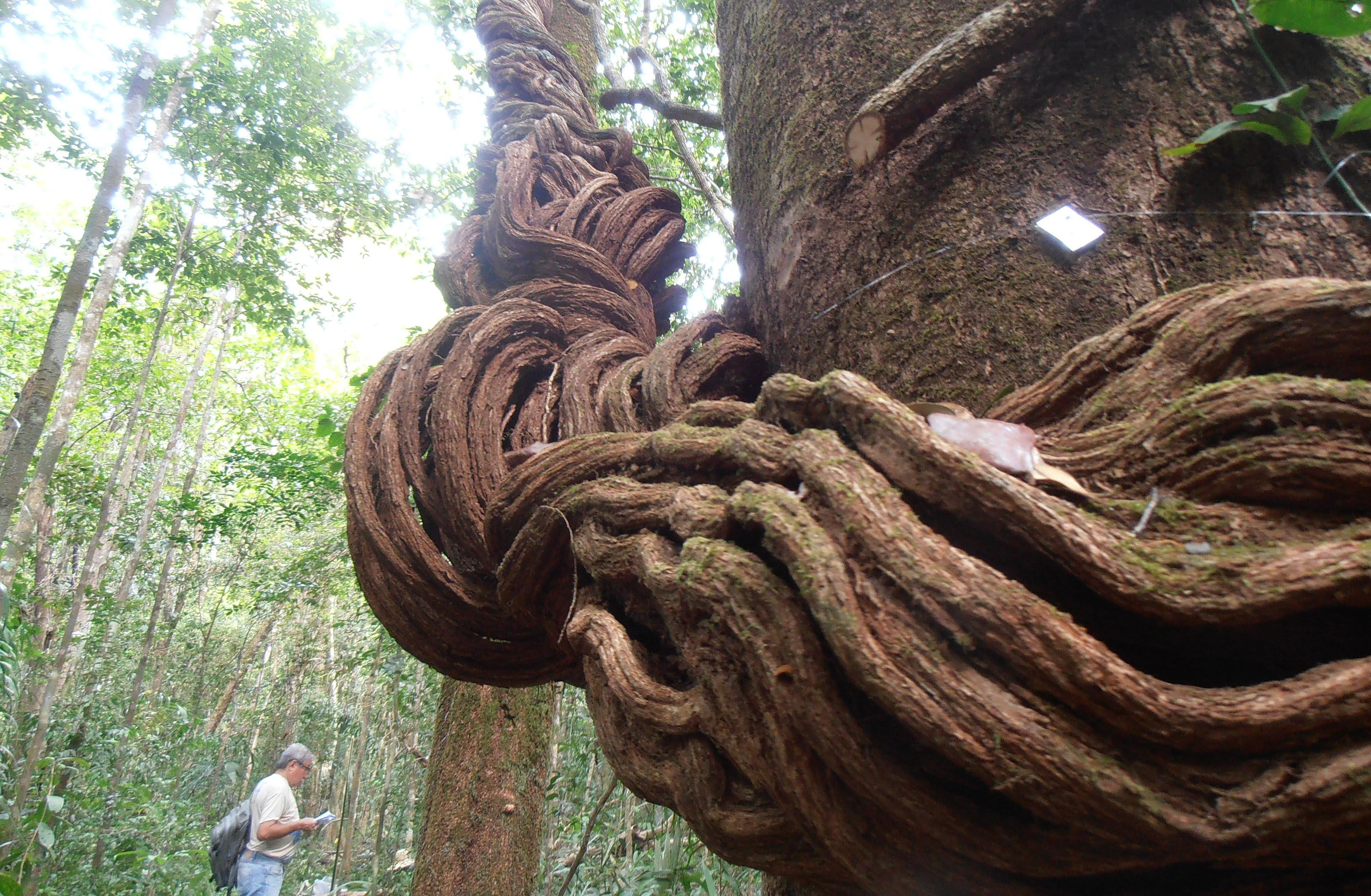 Mata Amazônica Atlântica. Foto Instituto Peabiru