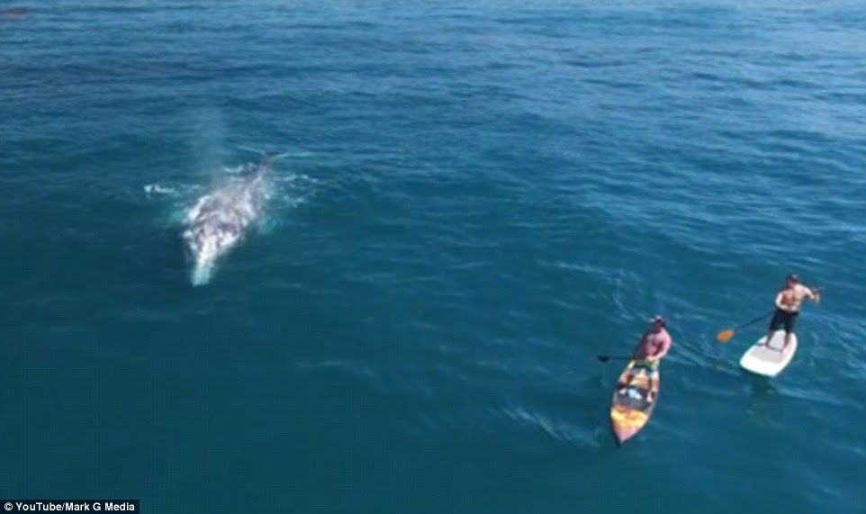 Two paddle boarders came face to face with a whale off the coast of California, as the animals make the journey to Alaska