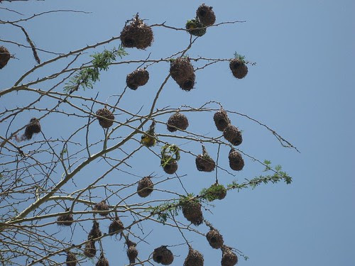 weaver nests Richards Bay SA