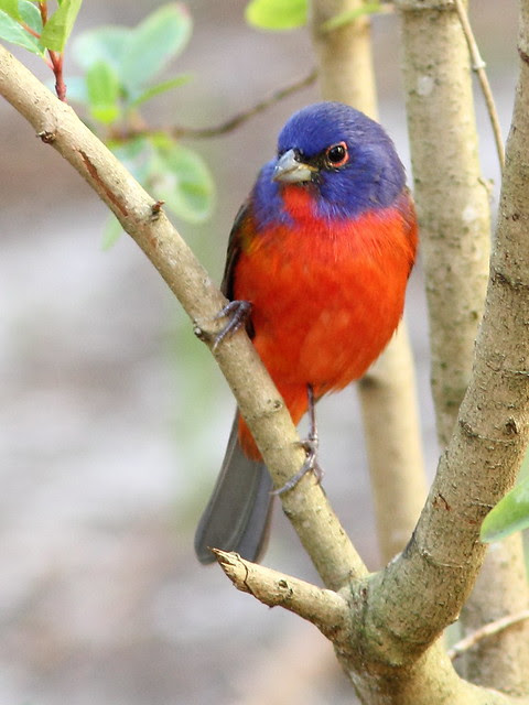 Painted Bunting 7-20130310