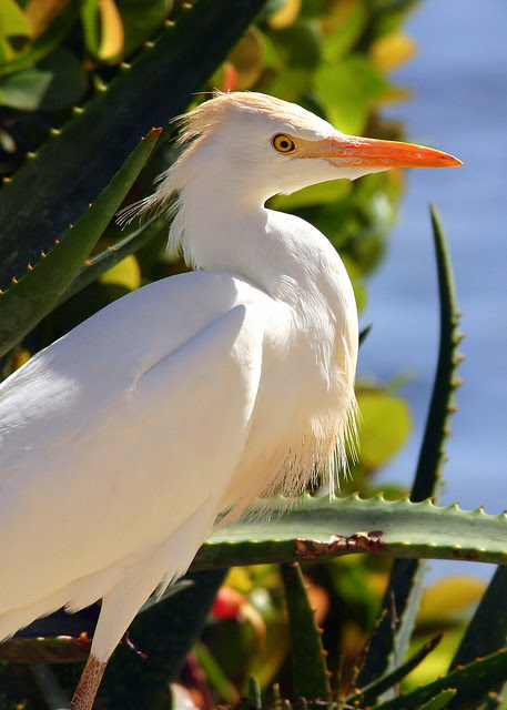 Cattle Egret 20090118