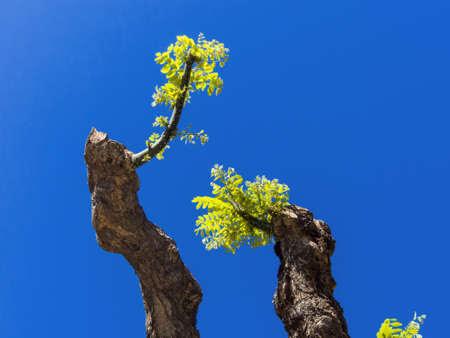 Risultati immagini per albero potato