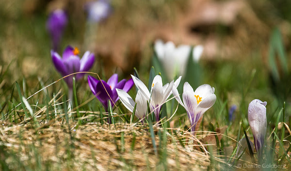 crocus in the grass