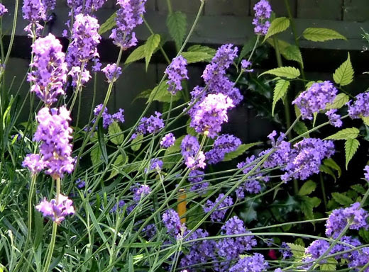 How To Grow Lavender Commercially