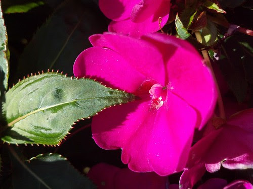Impatiens by pdecell