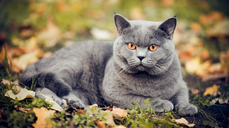 Russian Blue Cat Breed Facts & Information