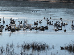 Waterfowl on half-frozen lake, McKinney, Texas...