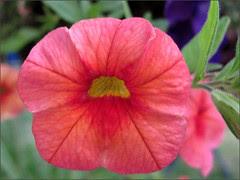 Melon-colored petunia