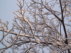 snowy branches (1)