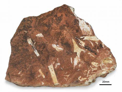 Amostras de fósseis estavam conservadas há 37 anos (Foto: Universidade Estadual de Ponta Grossa)