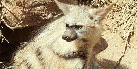 Aardwolf   Proteles Cristata   African Mammals