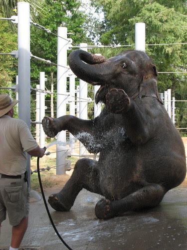 Asian Elephant Sitting Up