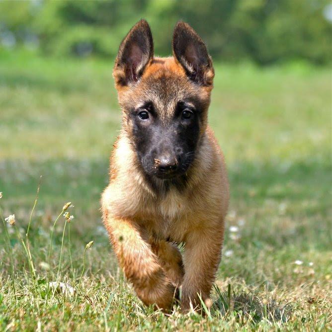 Belgian Shepherd Malinois Breed Guide - Learn about the ...