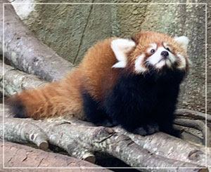 レッサーパンダの赤ちゃん。もっふもふのまんまるちゃん。