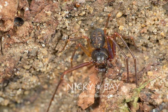 Crab Spider (Thomisidae) - DSC_1383