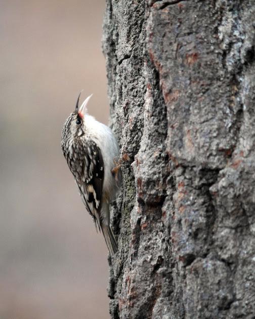 Ed Gaillard: recent &emdash; Brown Creeper, Central Park (Evodia)