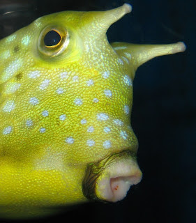 Cowfish - not bad for an aquarium photo, eh?