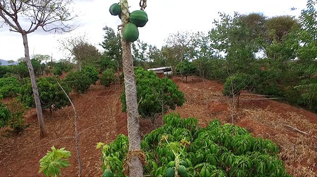 Different tree species planted in symbiosis with crops