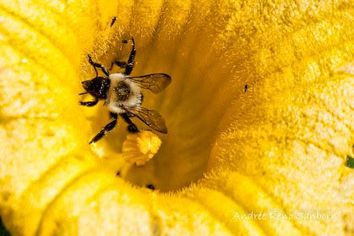 Bee in Squash-9.jpg