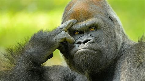 wallpaper gorilla wildlife  uhd  picture image