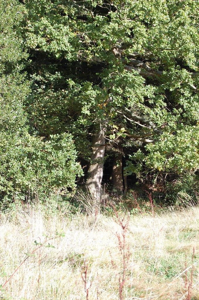 oak tree at the edge