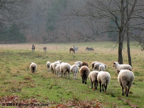 The Daily Donkey 131 -  sheep heading out to greet the donkeys - FarmgirlFare.com