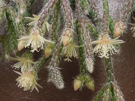 リプサリス ピロカルパの花 多肉植物