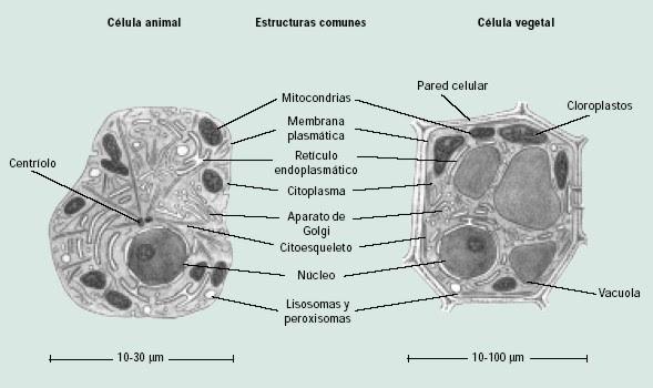 Comparación célula animal y vegetal