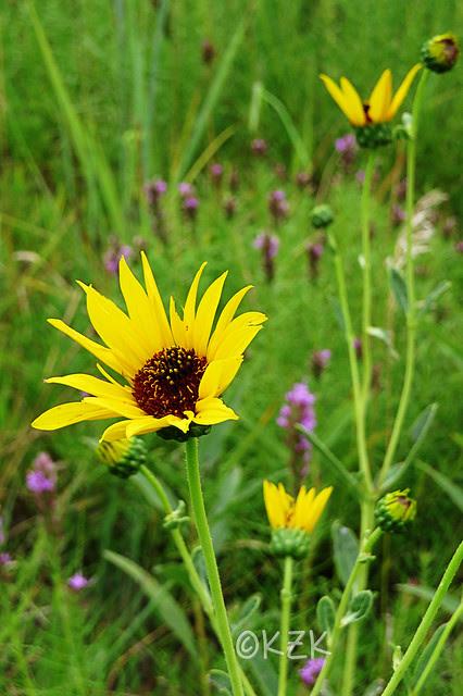 IMG_7873SunflowersDottedGayfeather