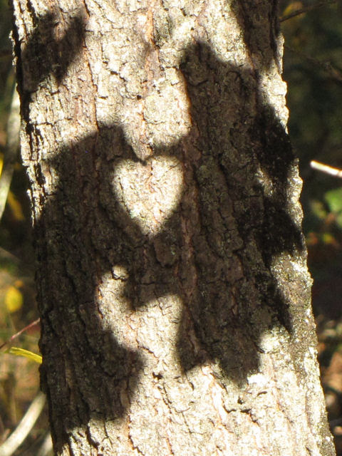 oak leaf shadows make heart shape