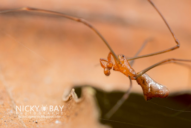 Comb-Footed Spider (Argyrodes sp.) - DSC_2280