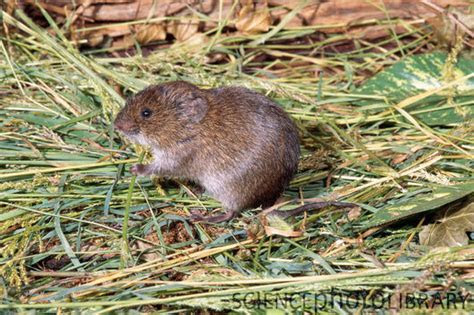 Meadow Vole   Stock Image Z918/0324   Science Photo Library