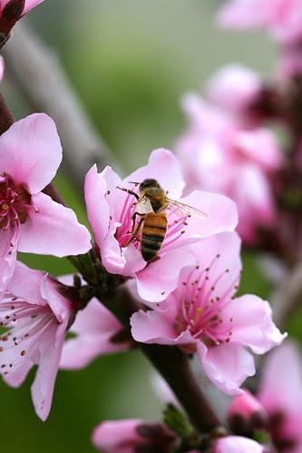 bee in peach