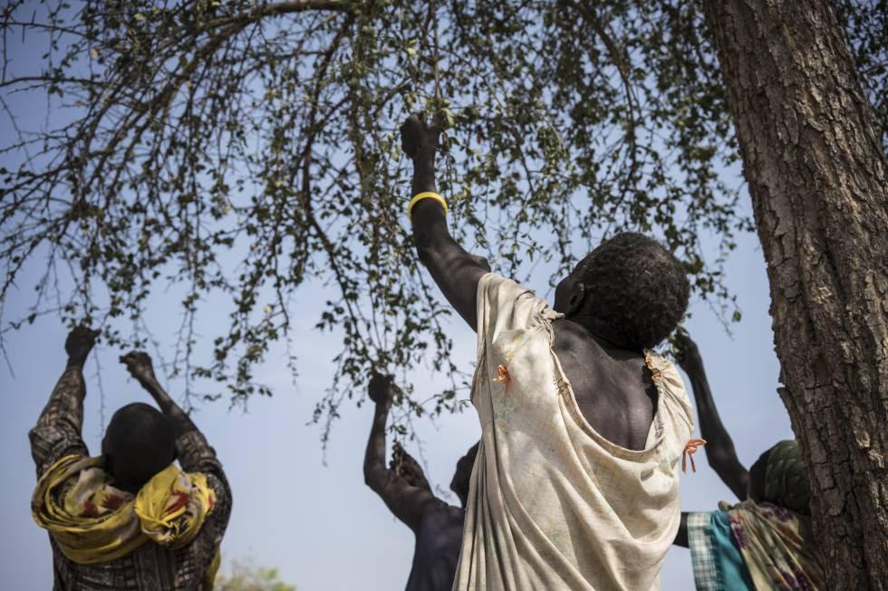 Unas mujeres recogen hojas de un árbol para cocinarlas en Apada (Sudán del Sur).