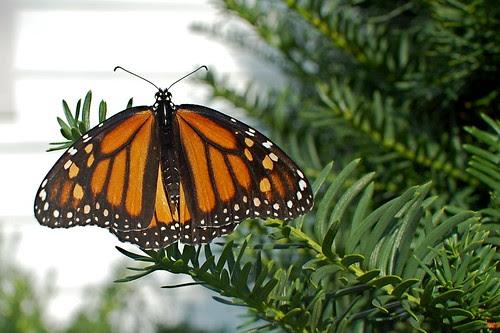 Monarch Time